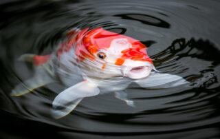 koi_pond
